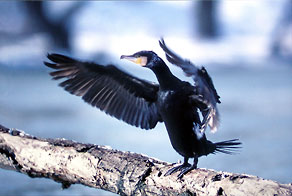 Kormoran (Phalacrocorax carbo)